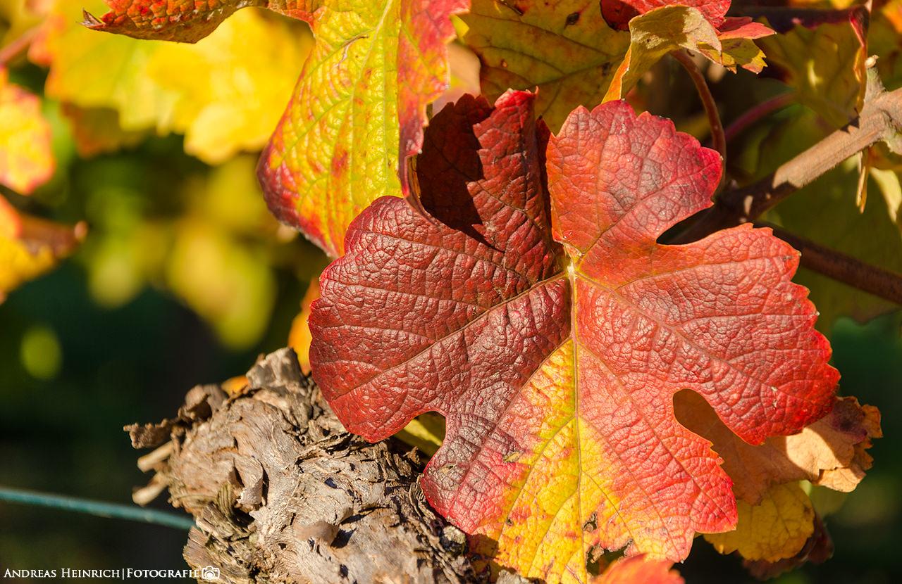 Herbstfarben in einem Weinstock außerhalb von Dahenfeld