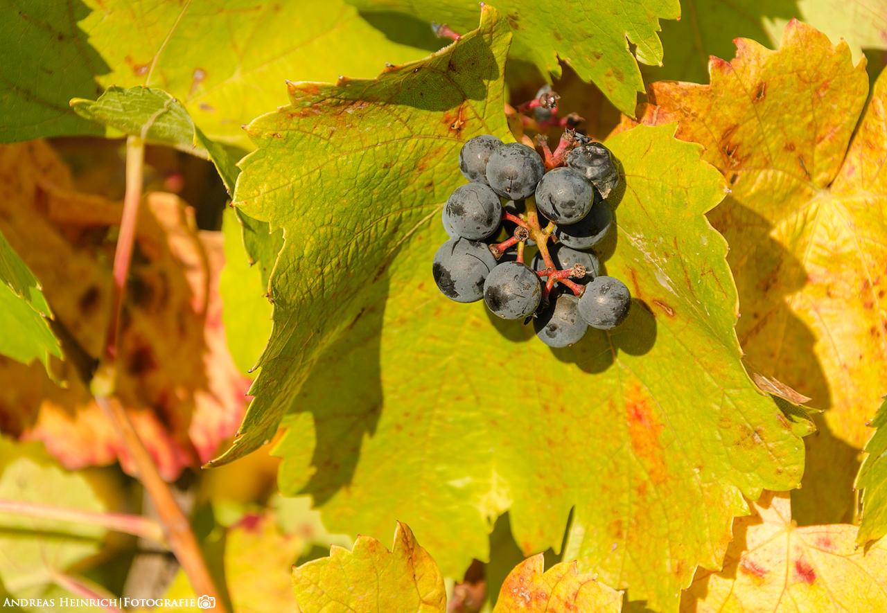 Weinreben in einem Weinstock außerhalb von Dahenfeld